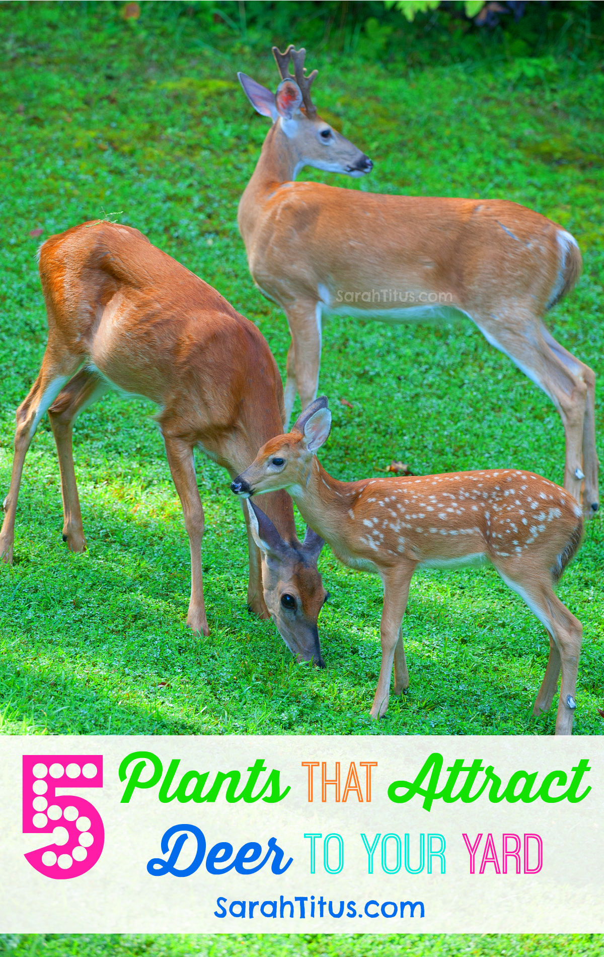 5 Plants That Attract Deer To Your Yard - Sarah Titus